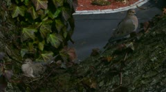 Mated Pair of Mourning Doves Stock Footage