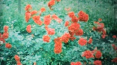 Beautiful Red Roses In The Garden-1962 Vintage 8mm film Stock Footage