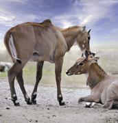Asian antelopes nilgai Stock Photos