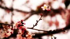 Cherry Blossom 01 Dolly L Stock Footage