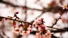 Cherry Blossom 02 Dolly R Stock Footage