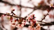 Stock Video Footage of Cherry Blossom 02 Dolly R