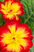 Red primrose flower with green leaves Stock Photos