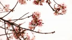 Cherry Blossom 03 Dolly L Stock Footage
