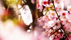 Cherry Blossom 05 Dolly R Stock Footage