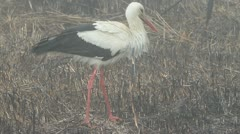 White stork resting on swamp / Ciconia ciconia Stock Footage