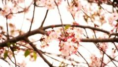Cherry Blossom 06 Dolly L Stock Footage
