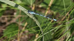 Blue Damselfly Stock Footage