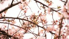 Cherry Blossom 08 Dolly L Stock Footage