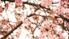 Cherry Blossom 09 Dolly R Stock Footage
