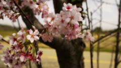 Cherry Blossom 11 Dolly Up L Stock Footage