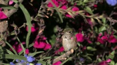 Break time: Broad-tailed Hummingbird juvenile male perches among salvia Stock Footage