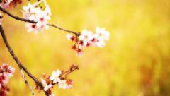 Cherry Blossom 13 Dolly R Stock Footage
