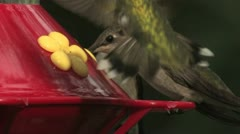 Ruby-throated Hummingbird female mostly ignores males' frenzied feeding Stock Footage