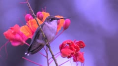 Ruby-throated Hummingbird on guard atop Pride of Barbados Stock Footage