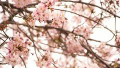 Cherry Blossom 15 Dolly L Stock Footage