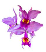Orchid on isolate Stock Photos