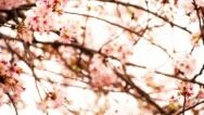 Cherry Blossom 19 Stock Footage