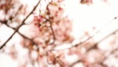 Cherry Blossom 20 Focus In an Out Stock Footage