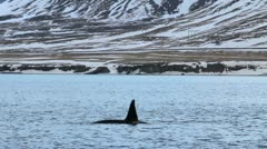 Wild orcas (killer whales) in fjord of Western Iceland Stock Footage