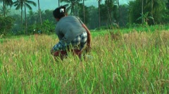 Harvest ready rice Stock Footage