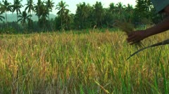 Field with maturing rice on Panay island in Philippines Stock Footage