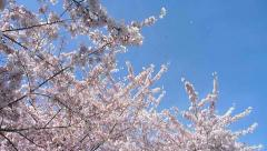 Blossoming Trees Blowing in Wind Stock Footage