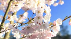Sakura Close Up Bright Stock Footage