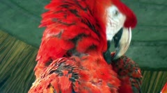 Birds - Neotropical parrot - Macaw - Scarlet Macaw Stock Footage
