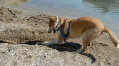 Golden Dog Digging at the Lake Shore Stock Footage