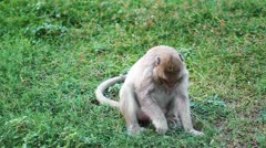 Thai monkey eating the grass Stock Footage