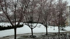 Pink Cherry Blossom Trees during Snow Storm on Spring Season - stock footage