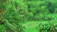 Stock Video Footage of Farmland with corn in the Philippines