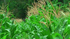 Farmland with corn in the Philippines Stock Footage