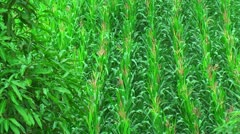 Farmland with corn in the Philippines - stock footage