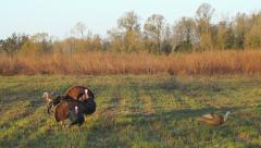 Wild Turkeys Killed Stock Footage