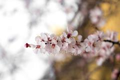 flower on a tree in spring - stock photo