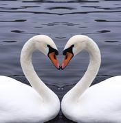 Swans heart Stock Photos