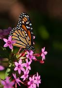 Monarch butterfly (danaus plexippus) Stock Photos