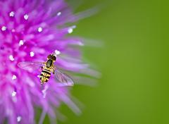 Hoverfly on thistle flower - stock photo