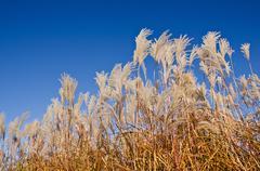 Graziella maiden grass (miscanthus sinensis) Stock Photos