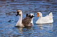 Stock Photo of Chinese geese (anser cygnoides)