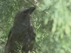Apostlebird, Struthidea cinerea or Grey Jumper in pine tree - stock footage