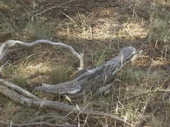 Bush thick-knee, Bush Stone-curlew, burhinus grallarius in outback Stock Footage