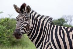 Burchell's Zebra - stock photo