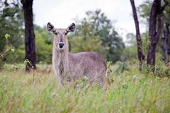 Waterbuck antelopes - stock photo