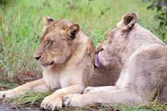 Couple of lions in the bush Stock Photos