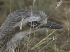 Bush thick-knee, Bush Stone-curlew, burhinus grallarius - close up Stock Footage
