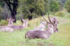 Flock of Waterbuck antelopes - stock photo