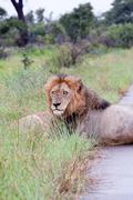 Male Lion in the bush - stock photo